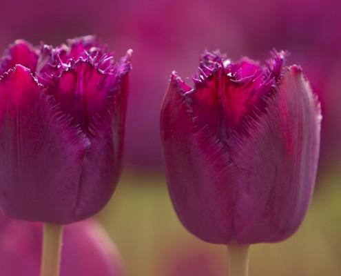 Tulpen, Blumenzwiebeln und andere Frühlingsblüher sind die Vorboten des beginnenden Gartenjahrs