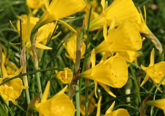 Frühlingsboten, Blumenzwiebeln mit Wildcharakter