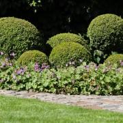 Gepflegter Buchsbaum im kleinen Garten