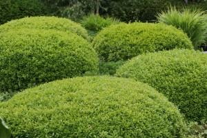 gesunder Buchsbaum muss gepflegt werden durch Schnitt, Düngung und Pflanzenschutz