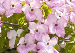 Blumenhartriegel - Cornus Satomi