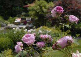 blühende rosen und üppige Stauden, Holzterrasse in der Sichtachse