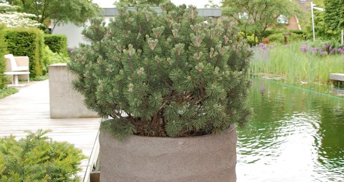 Krüppelkiefer-Pinus-Arten im Topf und als Kübelpflanze