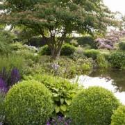 Etagenhartriegel am Gartenteich mit Spiegelung im Wasser