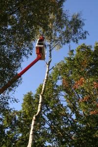 Bäume roden und Stämme fällen mit Klettertechnik
