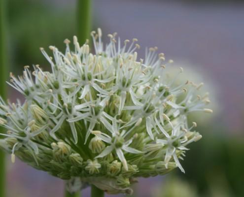 Kugellauch Allium