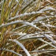 Gräser im Winter sehen gut aus, wenn sie nicht zusammen gebunden sind