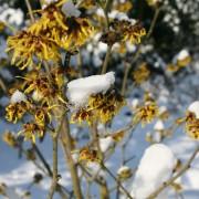 Die Zaubernuss blüht im winter auch bei Schnee